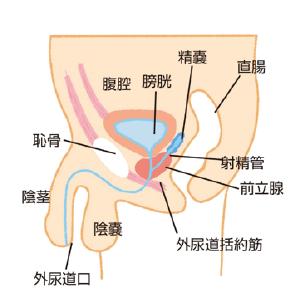 前立腺解説