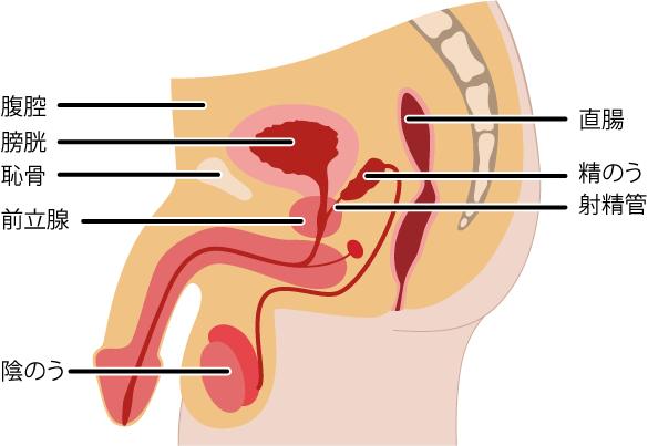 前立腺の場所と周囲の臓器