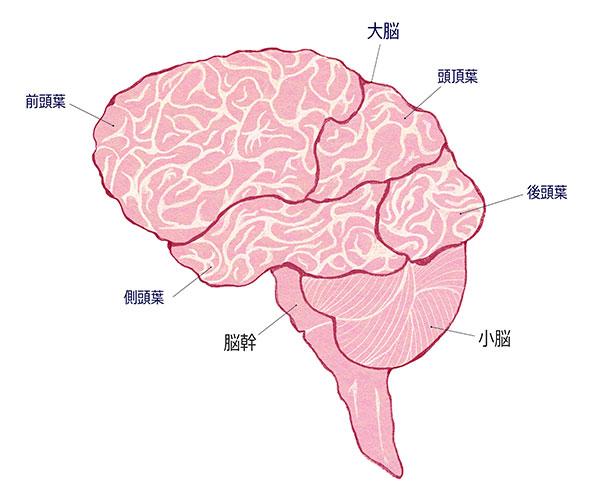脳の表面図